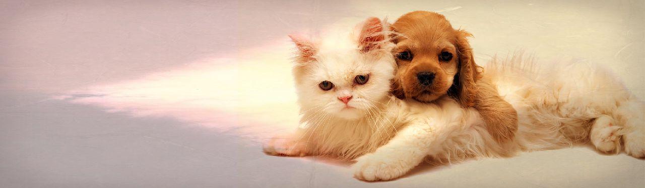 golden retriever puppy relaxing on white cat web header 1