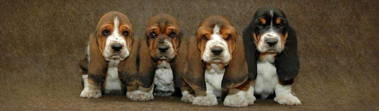 lovely line of basset hound puppies web header